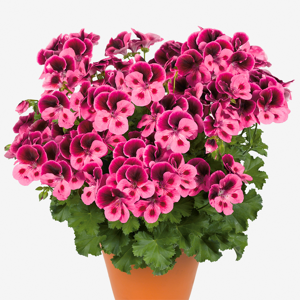 PCandy FlowersR Pink With Eye
